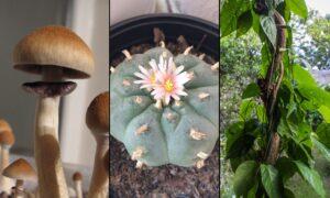 Psychedelic psilocybin peyote ayahuasca